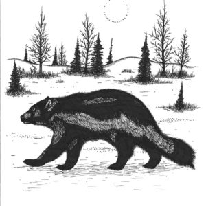 Badger by Christopher Chambaud felt-tip on paperboard  8.5″x 11″